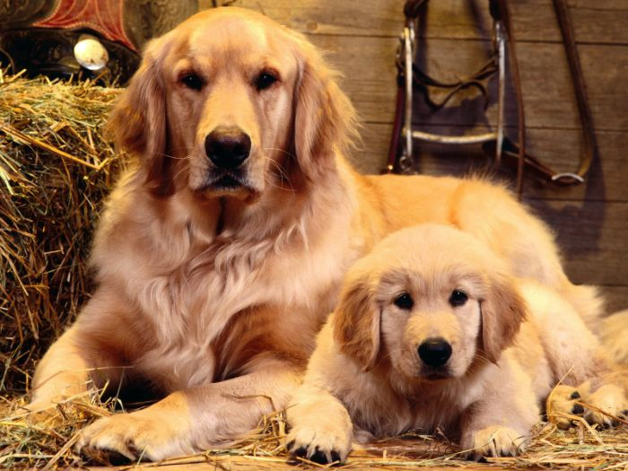 cho-Golden-Retrievers